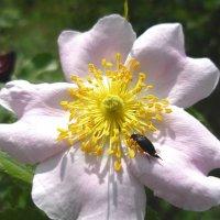 Цветок шиповника. :: Анфиса