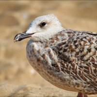 Рябенькая чайка :: Swetlana V