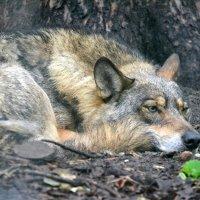 волк :: Сергей Стреляный