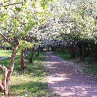Когда деревья в светлый майский день   дорожки осыпают белым цветом :: Татьяна Ломтева