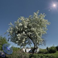 яблони в цвету :: Антон Летов