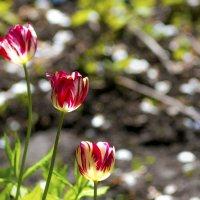 тюльпаны... :: Юрий