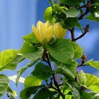 Цветущая аристократка-магнолия  бруклинская. :: СветЛана D
