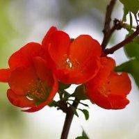 Айва цветёт :: Юрий Кольцов
