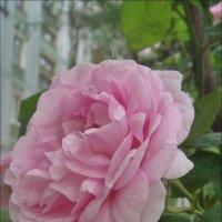 Чайная роза царствует в нашем дворе :: Нина Корешкова