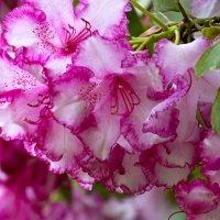 Природная красота цветов :: Милешкин Владимир Алексеевич