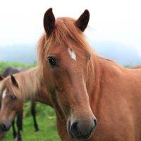 Дикие лошади Кунашира :: Сергей