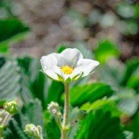 клубника в цвету :: олеся тронько