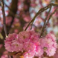 Цветет сакура в Версале :: Татьяна