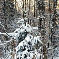 Маленькой елочке холодно в лесу... :: Николай Варламов