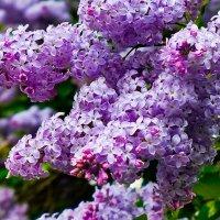 Буйное цветение :: Светлана Игнатьева