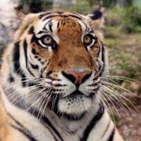 И тигра можно удивить :: Анастасия Прокопчук