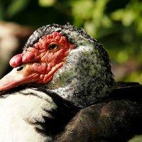 Мускусная утка :: Alm Lana