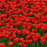 Последние тюльпаны 3 :: Анатолий