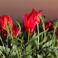 Алые тюльпаны :: Андрей Вигерчук