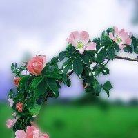 дикая роза :: георгий петькун