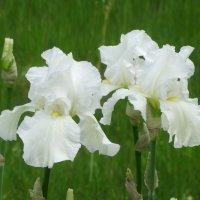 Пора цветения ирисов... :: Тамара (st.tamara)