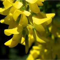 Желтая акация :: Swetlana V