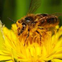 пчела :: Андрей Молодов