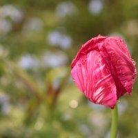 Тюльпан, окруженный любовью. :: Катрина Деревеницкая