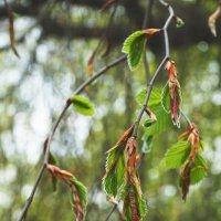 Рождение новых листьев :: Евгений {K}