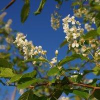 Маленькие цветы большой черемухи. :: Валентина Налетова