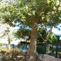 Хлопковое дерево -чориссия :: Герович Лилия