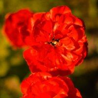 Тюльпаны :: Екатерина Панчук