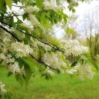 Всюди буйно квітне черемшина... :: Валентина Данилова