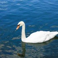 Лебедь :: Allekos Rostov-on-Don