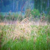 Засохшая трава :: Serge Serebryakov