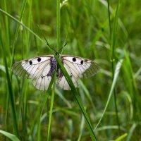 Весна, бабочка... :: Юрий Стародубцев