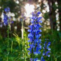 Синий цвет... :: Юрий Стародубцев