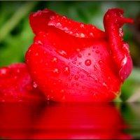 Красный лебедь! :: Владимир Шошин