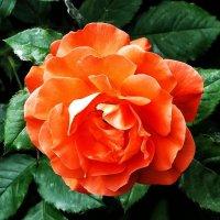 """Розы из сада гостиницы """"Хайят"""" Фото №2 :: Владимир Бровко"""