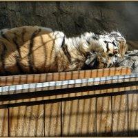 Сонное царство тигров :: Вера