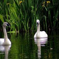 Пара белых лебедей :: Alexander