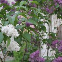 Два цвета садовой сирени :: Наталья Золотых-Сибирская