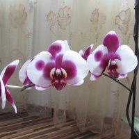 Орхидея :: Елена Милая