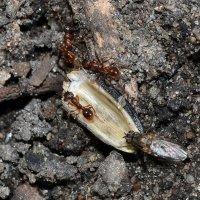 Мушка и муравьишки :: Ольга Скляренко