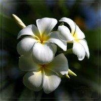 Плюма (Плюмерия, Франжипани) :: DimCo ©