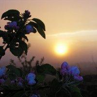 яблоня цветет :: Юрий Кальченко