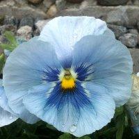 Росинки в цветке :: Снежанна Нефёдова