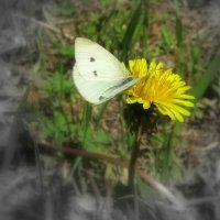 Бабочка- красавица. :: Мила Бовкун