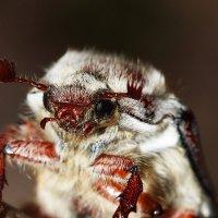 Майский жук :: Андрей Молодов