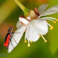 Malachius aeneus - Малашка медная (бронзовая) :: Evgeny Berezin