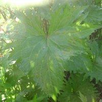 Узорчатые листья :: Анатолий