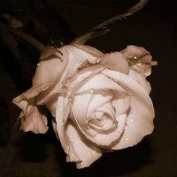 Роза... :: *MIRA* **