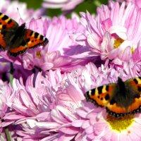 Бабочки :: Алексей Евсеев