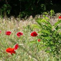Время цветения маков... :: Тамара (st.tamara)
